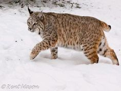 Bobcat Hunting in the Snow~