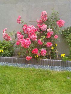Różyczki rosną różowiutkie w moim ogrodzie ^.~