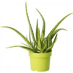 Lääkeaaloe 12 cm Aloe Vera, Planter Pots