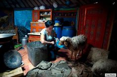 Mongolian woman taking care of her sheep during winter day.