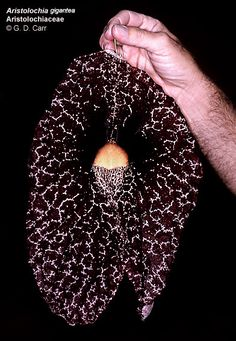 Aristolochia gigantea, amazing flowers.