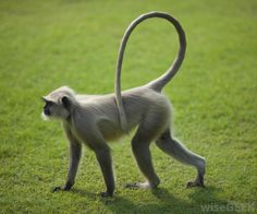 What is the Difference between Monkeys and Apes?