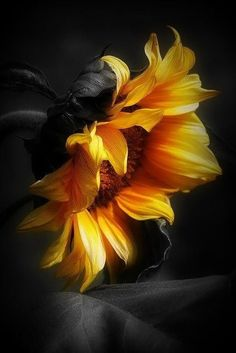 Ideas For Wall Paper Flower Photography Sunflower Pictures, Sunflower Art, Sunflower Paintings, Sunflowers And Daisies, Sun Flowers, Sunflower Wallpaper, Pictures To Paint, Flower Power, Beautiful Flowers