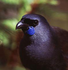 Kokako. New Zealand Birding Network Brings You The Best Of New Zealand Birding