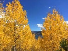 It's a gorgeous day to get outside and enjoy the fall foliage in Colorful Colorado! #leafpeeping #FallInColorado #ColorfulColorado