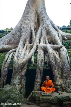 Monk meditates under a tree in the Ta Promh temple of Angkor Wat Complex. - Monk meditates under a tree in the Ta Promh temple of Angkor Wat Complex. Angkor Wat, Bonsai, Unique Trees, Old Trees, Buddhist Monk, Tree Roots, Nature Tree, Tree Forest, Amazing Nature
