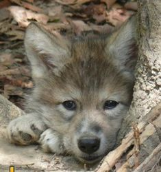 What a dreamy look... Save the Timberwolf -  This is just another reason why we should help to preserve and protect the timber wolf.  The Wolf Howl Animal Preserve is a place where you may find more information about wolves...http://www.timberwolfhq.com/category/seeker-of-the-way-2/