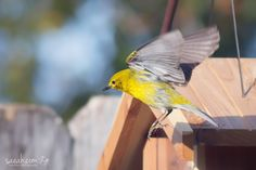Landing Pine Warbler (Setophaga pinus)  Fun Fact: The Pine Warbler is the only warbler that eats large quantities of seeds, primarily those of pines. This seed-eating ability means Pine Warblers sometimes visit bird feeders, unlike almost all other warblers.  Enterprise, Alabama, USA