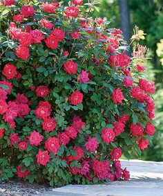 Look at this Live 'Double Red Knock Out®' Rose Bush on #zulily today!
