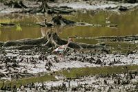 El ibis blanco, Eudocimus albus, busca su alimento en los lodazales de los manglares de la Ciénaga Grande.