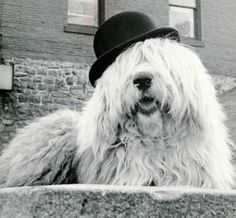 Humphrey, the Old English Sheepdog, looking ever so English in his Bowler. RIP Sweet Boy...