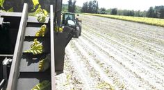 View of tractor & dump buggy coming up behind tobacco harvester, getting ready to unload harvester