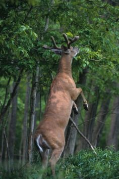 Whitetail bucks will consume 10 to 15 pounds of food per day from June to August