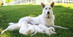 The White Shepherd emerged from white-coat lines of the German Shepherd Dog in Canada and the United States and from European imports. Description from imgarcade.com. I searched for this on bing.com/images
