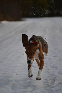 Uhka, finnish hound