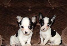 Gramatic And Adorable Small Cream Chihuahua Chihuahua Puppies