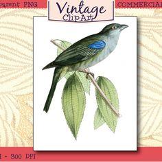 Vintage Bird – Bishop Tanager