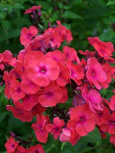 "Phlox paniculata:  Sandra Garden Phlox Perennials Height: Medium 24"" (Plant 20"" apart) Bloom Time: Late Summer to Early Fall  Sun-Shade: Full Sun   Zones: 4-8 Soil Condition: Normal, Sandy, Clay  Flower Color / Accent: Orange / Red    Bluestone Perennials, Inc.  MUST TRY...NAME"