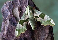 Papillon De Nuit, Hawkmoth, La Faune, Sphingidae, Ailes