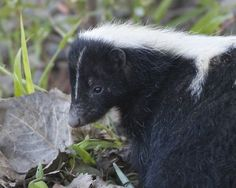 A Profile Photo Of A Skunk by Steve Creek