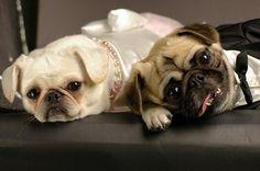 Pug wedding