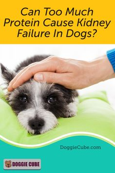 Some dog owners think that too much protein can cause kidney failure in dogs. So they restrict the amount of dog protein in their pet's diet for fear that it may affect their health. So is this something to worry about or is it just a myth? Find out more. Dog Care Tips, Pet Care, Pet Tips, Dog Corner, Dog Health Tips, Dog Died, Dog Nutrition, Sick Dog, Dog Facts