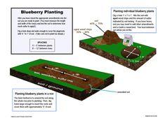 Duke blueberry plant - early season - High yields of good quality berries. Blueberry Plant, Blueberry Bushes, Plants For Raised Beds, Retail Websites, Soil Ph, Aging Wood, Harvest, Blueberries, Backyard