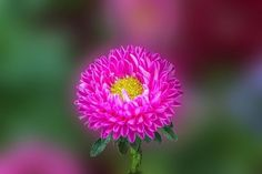 Single Pink and yellow Aster by 12bluros