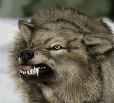 Wolf with big teeth. #wolf #wolves #animals