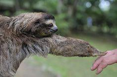 Visit the Sloth Rescue Center in Cahuita #MyCostaRica #travel #sloth #nature #Cahuita #PuraVida