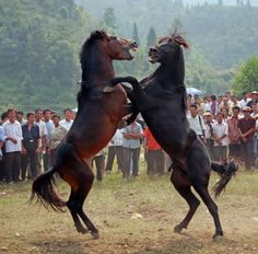 Horse fighting in China. Article and VIDEO. Animal rights groups such as Peta, Network for Animals and The Blue Cross, in addition to vets and animal lovers around the world have all called for the barbaric tradition to be stopped completely.