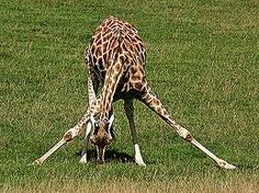 Giraffe doing Head-to-Knee pose