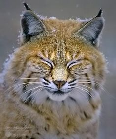 Big Cats, Cool Cats, Cats And Kittens, Nature Animals, Animals And Pets, Cute Animals, Beautiful Cats, Animals Beautiful, Cutest Animals