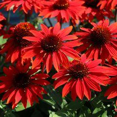 Sun Garden, Garden Soil, Summer Garden, Shade Garden, Black Garden, Dream Garden, Orange Flowers, Cut Flowers, Colorful Flowers