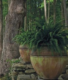 Ferns in Large Rustic Pots : Gardening