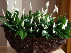 Ten incredibly useful houseplants that make the air wonderfully clean and fresh Peace Lily, Household Plants, Decoration Plante, House Plants Decor, Indore, Plantation, Ficus, Shade Plants, Fake Flowers