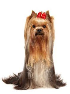 Image result for Yorkshire Terrier #yorkshireterrier