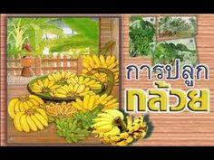 การปลูกกล้วย
