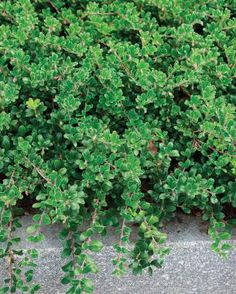 Green carpet ground cover creeping phlox snow maiden carpet phlox ground cover - Cotoneaster dammeri green carpet ...