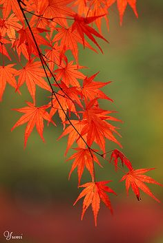 photo: Japanese maple in Fall colors ~~ 紅葉 (momiji) ~~ Flor Tattoo, Autumn Scenes, Beautiful Flowers Garden, Maple Tree, Tree Photography, Tree Silhouette, Fall Pictures, Tree Leaves, Flower Art