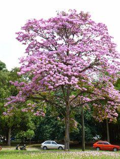 Tabebuia rosea- arbol hermoso- Medellín- Colombia