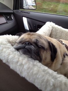 Zoey is exhausted from going on vacation..it's a rough puggie life