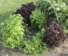2013 Herb Garden - Basil.  Great read on growing and tending to basil.
