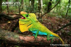 Hump nosed lizard are native to Sri Lanka, and the only species in the genus Lyriocephalus Lizard Types, Animals Beautiful, Cute Animals, Crocodiles, Reptiles And Amphibians, Endangered Species, Hulk, Sri Lanka, Snakes