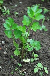 Celery growing troubleshooting