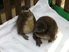 ペンギン池、エミュー(ケープペンギンのヒナ)写真