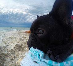 'Weekend Face', Courtesy of Albert, the French Bulldog Puppy, @albert_ thefrenchbulldog on instagram. #buldog