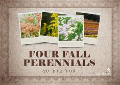 Greener on the Inside - 4 Fall Perennials To Die For