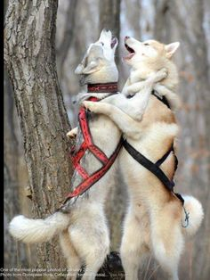 Russian Husky dance and song!