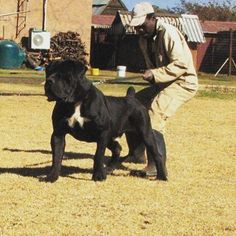 #mastiff #african #big #dog #super #muscle #verygood  #americanbully Photo Credit to http://ift.tt/1RxRu2q